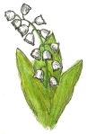 may day, muguet, lilly of valley