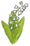 may day, muguet lily valley